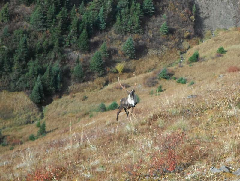 British Columbia Caribou and Goat Hunting