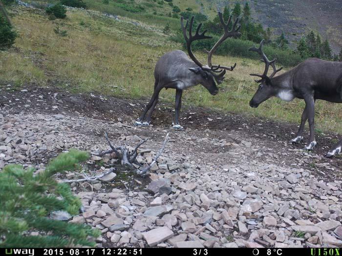 Northern British Columbia Caribou Hunting