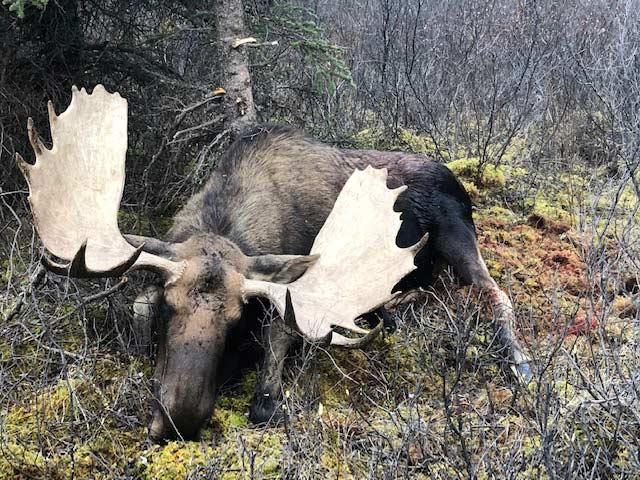 British Columbia Moose Hunting