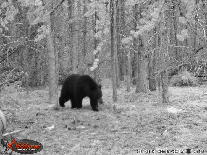 Black Bear Hunts Guiding And Outfitting