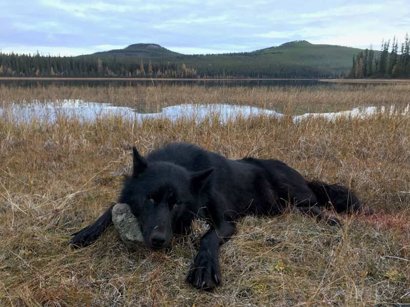 Northern BC Wolf Hunt Gunson Guiding and Outfitting